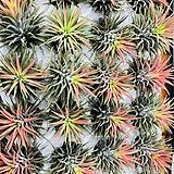 단풍빛 물든 이오난사 틸란 틸란드시아 공기정화식물 공중식물 행잉플랜트|Tillandsia