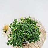 추위에 강한 옥살리스 노랑사랑초|