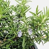 향기 좋은 연보라색 꽃피는 크리핑로즈마리 로즈마리 허브|Rosemary