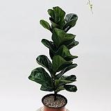 아담사이즈 외목대 떡갈고무나무 고무나무 공기정화식물|Ficus elastica