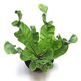 코브라 아비스 공기정화식물 실내공기정화식물 관엽식물 실내화초 실내식물|