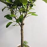 뱅갈고무나무/160cm/개업화분,축하화분