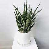 파인애플스투키/50cm/완성화분/공기정화 식물|Sansevieria Stuckyi
