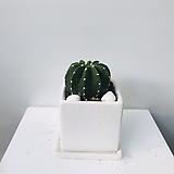 다육식물/선인장/대호환/15cm화분포함|