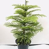 아라우카리아/호주삼나무/90cm화분포함/침엽수|