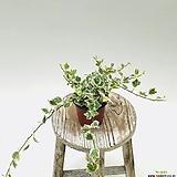 칼라아이비 무늬아이비 아이비 수경재배 음지식물 넝쿨식물|Heder helix
