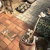달마미인 묵은|Pachyphytum oviferum
