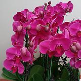호접란(대륜 빨강색).꽃형큰형.대표적인빨강색형.인기상품.꽃피었던 상품..