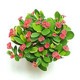 꽃기린 실내공기정화식물 선인장 다육식물|