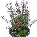 호주매화 야생화 실내공기정화식물 실내화초 실내관엽식물|