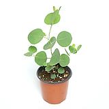 유칼립투스 폴리안 화분 공기정화식물 블랙잭 레몬검 실버드롭|