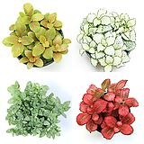 레드스타 화이트스타 수경재배식물 수경식물 수생식물 휘토니아 피토니아