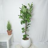 떡갈고무나무 원형볼화분 대형사이즈|Ficus elastica