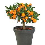 열매맺힌~클레멘타인 오렌지 신품종#1♥시트러스♥수량한정|