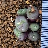 미누텀 누덤 코노피튬|Conophytum