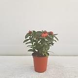 익소라(신종)/공기정화식물/온누리 꽃농원 