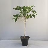 열매많은 커피나무/공기정화식물/온누리 꽃농원 