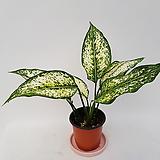 알로카시아(작은품종)