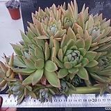 레이블리 대품 Echeveria agavoides sp