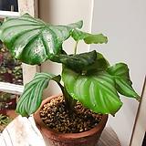 고급스런 칼라데아 오르비폴리아(잎의 줄무늬가 아름다운)토분세트|