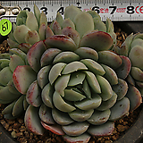 라즈베리아이스(1204-67)|Echeveria Rasberry Ice