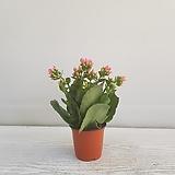노블/공기정화식물/온누리 꽃농원 Echeveria noble