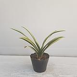 군자란(변이종)/공기정화식물/온누리 꽃농원 