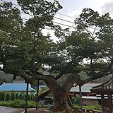 느티나무,묘목(3년생)|Echeveria Tina