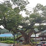 느티나무,묘목(3년생)10주묶음|Echeveria Tina
