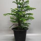 아라우카리아 트리장식 공기정화식물|