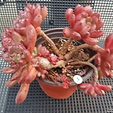 핑크루비 묵은둥이 Sedeveria pink rubby