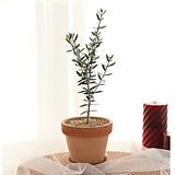 인테리어 식물 올리브 나무+토분받침대 set|