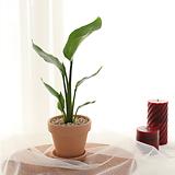 인테리어 식물 극락조+토분받침대 set|