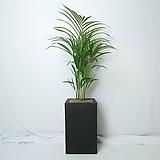 공기정화식물 아레카야자 중형 화분|