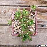 에오니움|Aeonium canariense