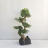 가지마루/공기정화식물/온누리 꽃농원 