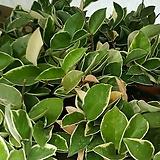 호야|Hoya carnosa