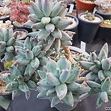 묵은 클라우쿰|Pachyphytum compactum var. glaucum