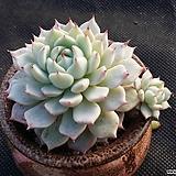 자라고사(분채배송) Echeveria mexensis Zaragosa