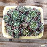 미니황비황 모듬|Echeveria minima cv. Miniouhikou