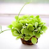 디시디아 볼 그린 실내공기정화식물 행잉플랜트|