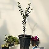 올리브나무 68cm (화분포함)|