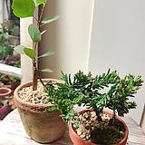 폴리안+눈향나무 미니플랜트 세트(미니멀 플랜테리어로 굿)|