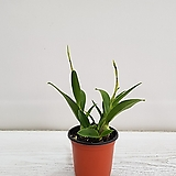띠코(흰색,분홍)/공기정화식물/온누리 꽃농원 