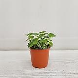워터코인/공기정화식물/온누리 꽃농원 