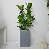 떡갈고무나무 중형 사각화분(그레이)|Ficus elastica