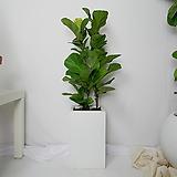 떡갈고무나무 중형 사각화분(화이트)|Ficus elastica