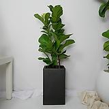 떡갈고무나무 중형 사각화분(블랙)|Ficus elastica