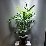 관음죽 중품 관엽식물 공기정화식물 공룡꽃식물원 10|