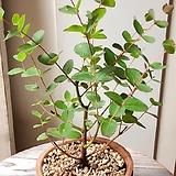 유칼립투스 빈티지 플랜트(햇빛의 물들어 멋진 묵은목대)토분세트 